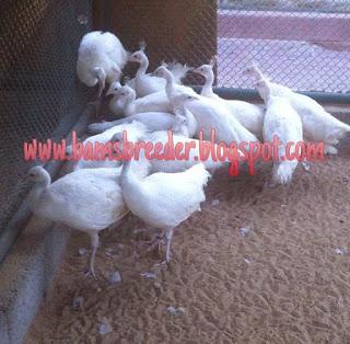 Jual anakan burung merak putih