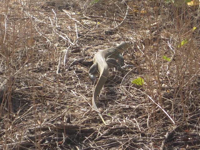 Reptil en la Reserva de Bandia, Senegal