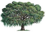 Save Youngsville's Live Oak Tree