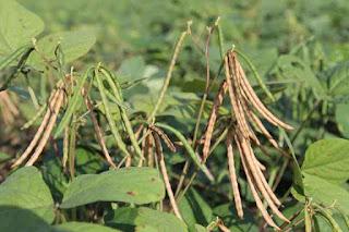 cara menanam kacang hijau