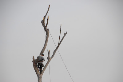 safety belt and rope preparation for tree cutting