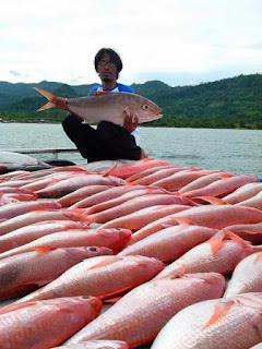 Ikan ruby snapper