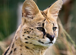 [imagetag] [Image: Serval+Cat.jpg]