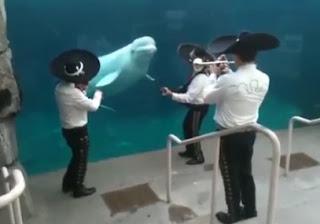 kumpulan Mariachi main muzik untuk paus Beluga