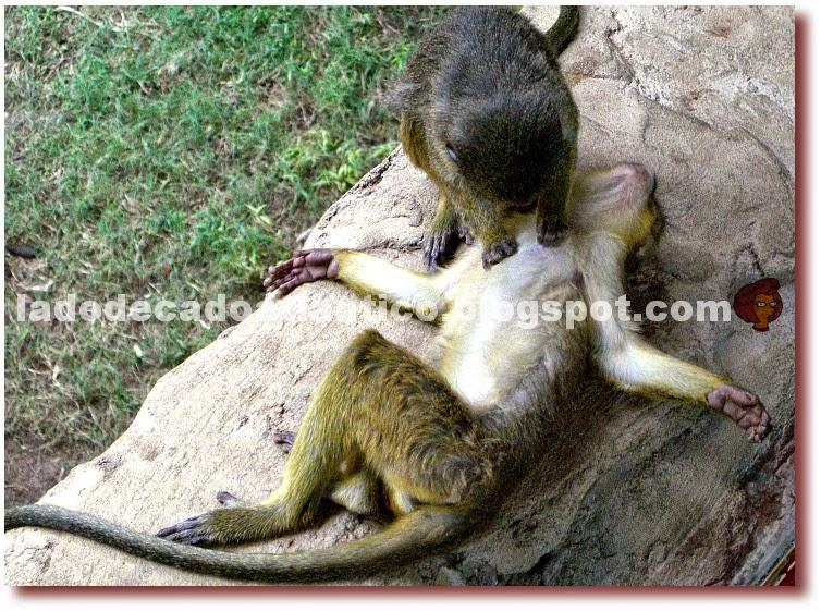 Imagem de um macaquinho catando pulgas no peito do outro, do Bioparc de Fuengirola, Espanha