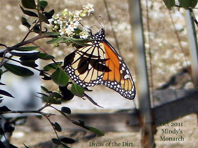 Divasofthedirt, monarch by mindy