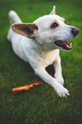 pies z patykiem