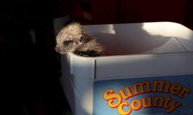 funny animals, baby meerkat