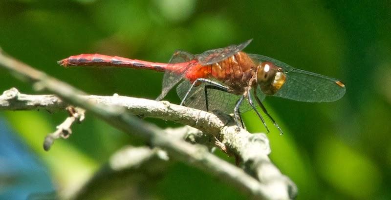 Ruby Meadowhawk (Sympetrum rubicundum)