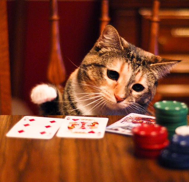 Bluffing poker cat