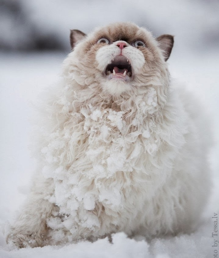 Funny cats - part 89 (40 pics + 10 gifs), cat in the snow