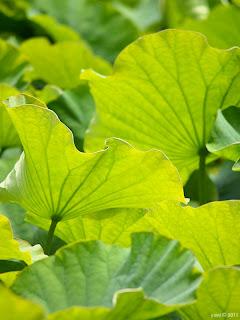 green veins - botanical gardens, sydney