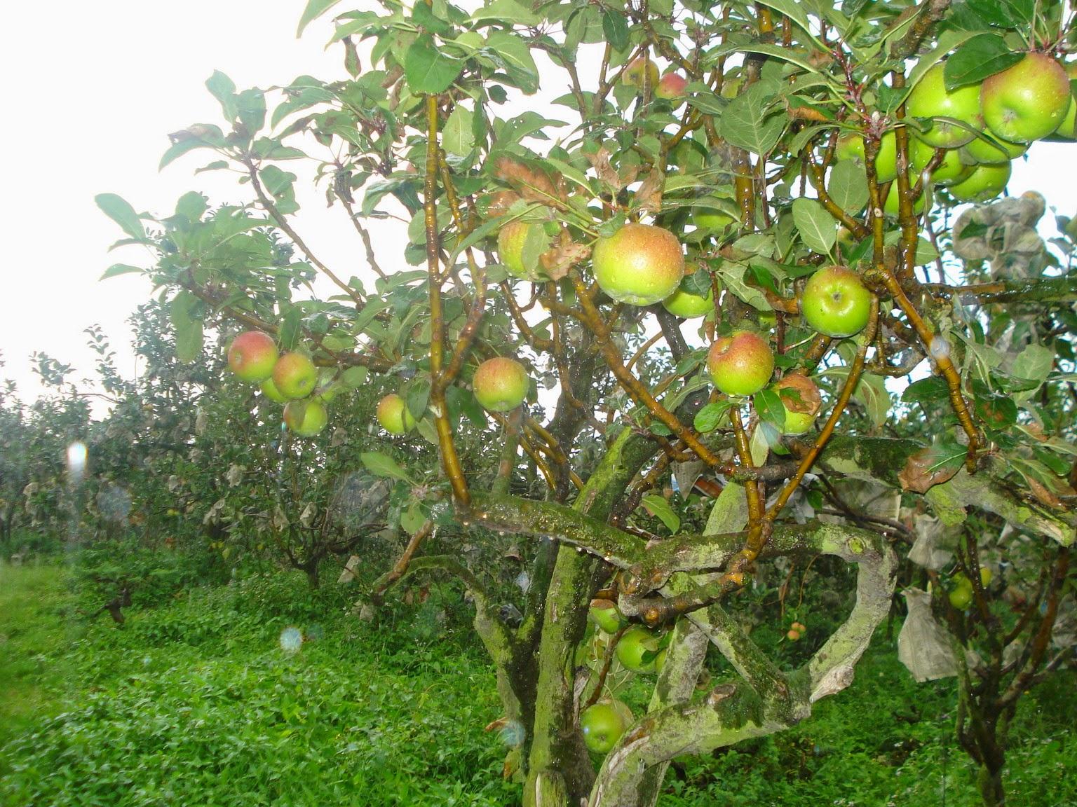 Tanaman obat untuk kencing manis sakit gula diabetes melitus Apel