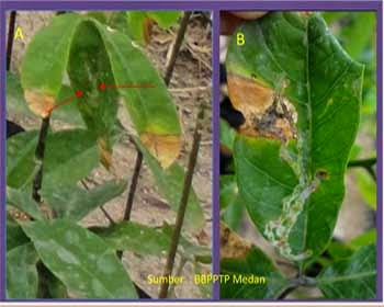 oidium pada tanaman karet
