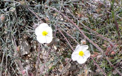 Rosas de rocas blancas