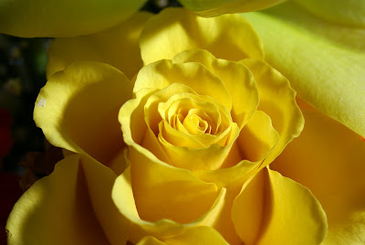 yellow rose flowers wallpapers