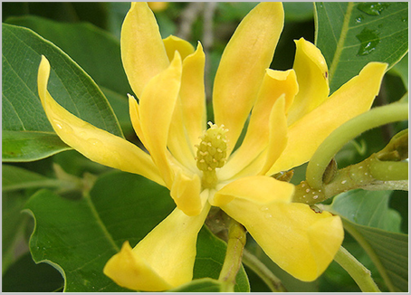 Bunga Flora Khas Propinsi Di Indonesia