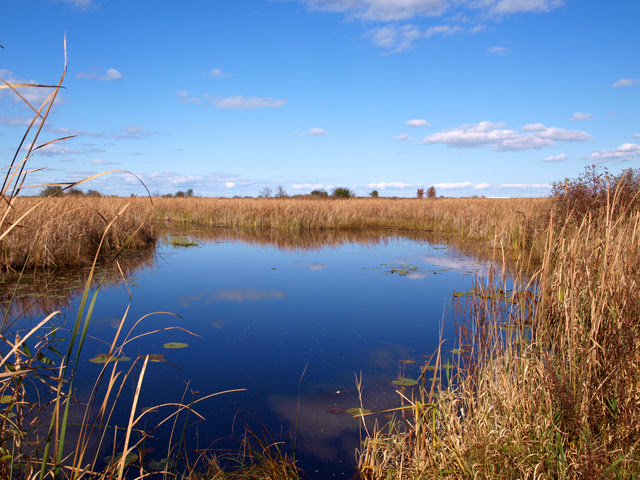 Photograph of a pond surrounded by reeds, and milkweed on shore.