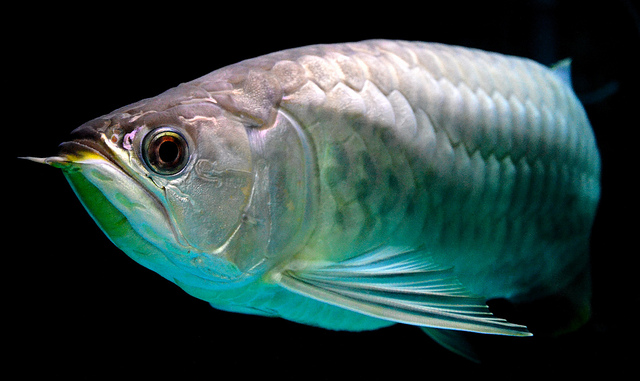 Banjar Red Arowana Fish Stockphoto