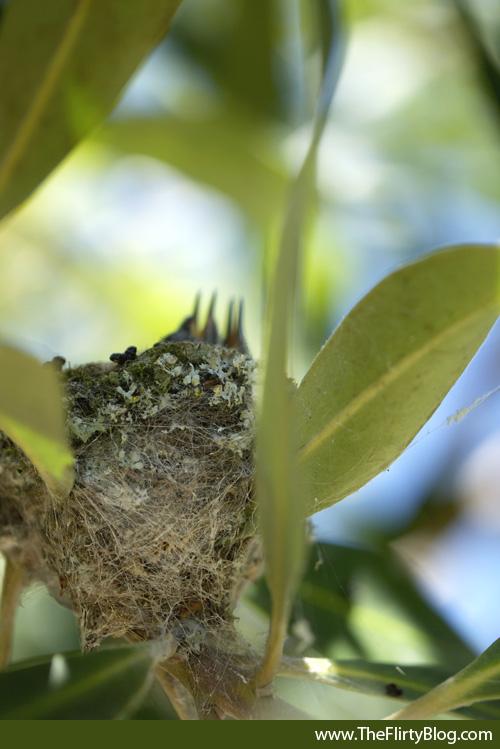 Hummingbird, Chicks, Nest