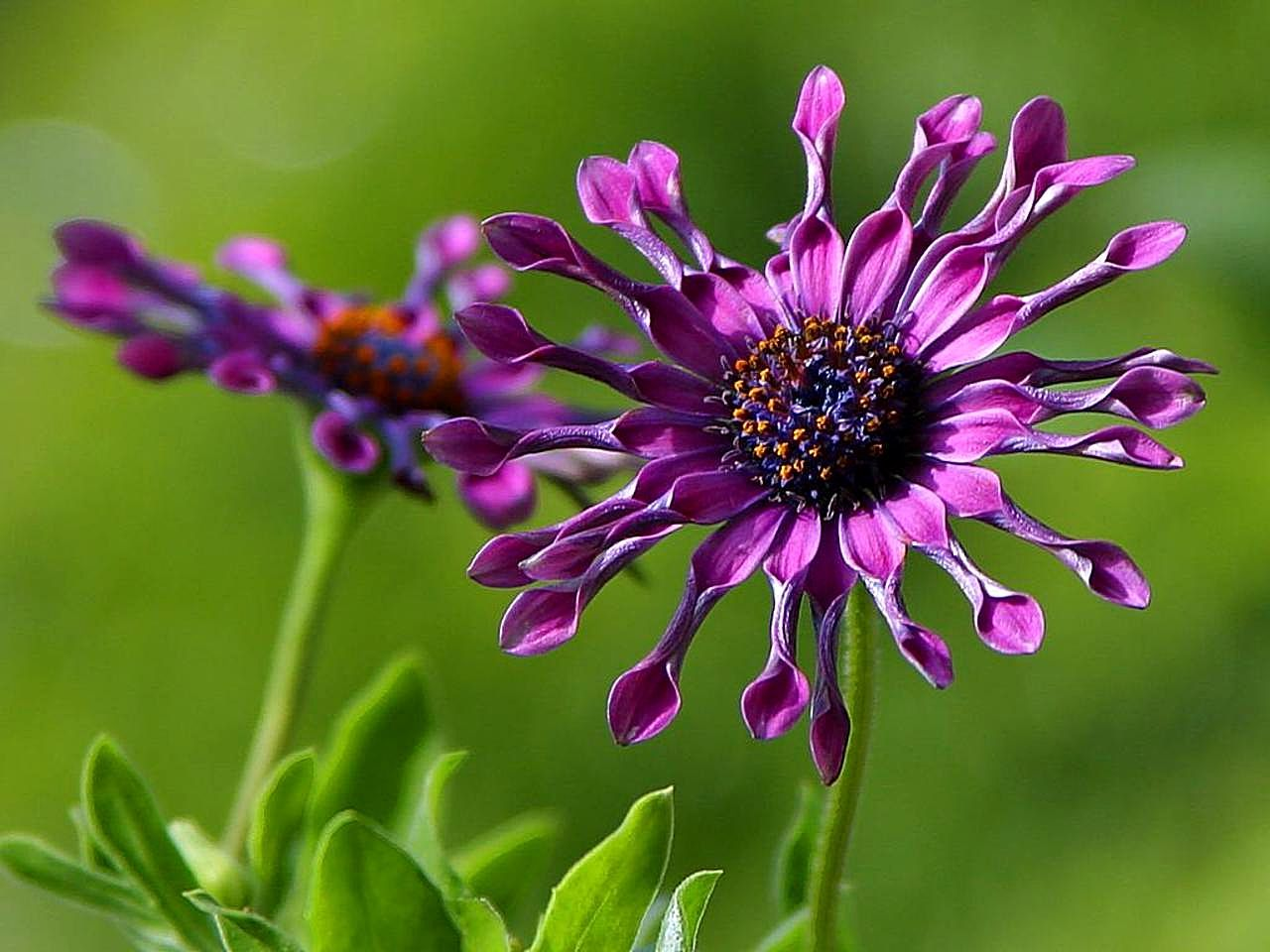 Lets enjoy the beauty most beautiful flowers in the world african daisy flower its native habitat south africa the african daisy bursts into bloom when the spring rains come but in gardens plants bloom copiously izmirmasajfo