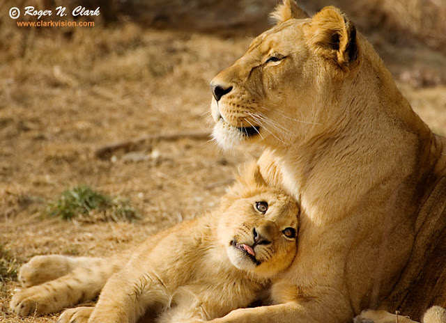 'Mom' Lion with her Cub
