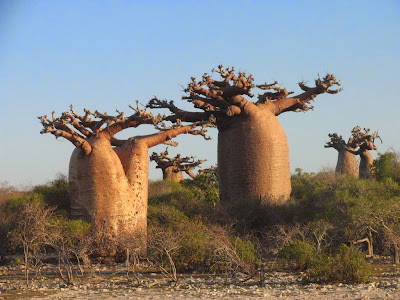 """art is derived from natural """"Baobab"""" is the Bottle Tree"""