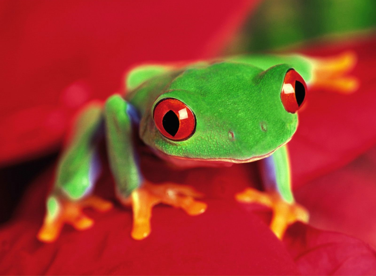 Frog Beautiful Skin Colors - Pets Cute and Docile