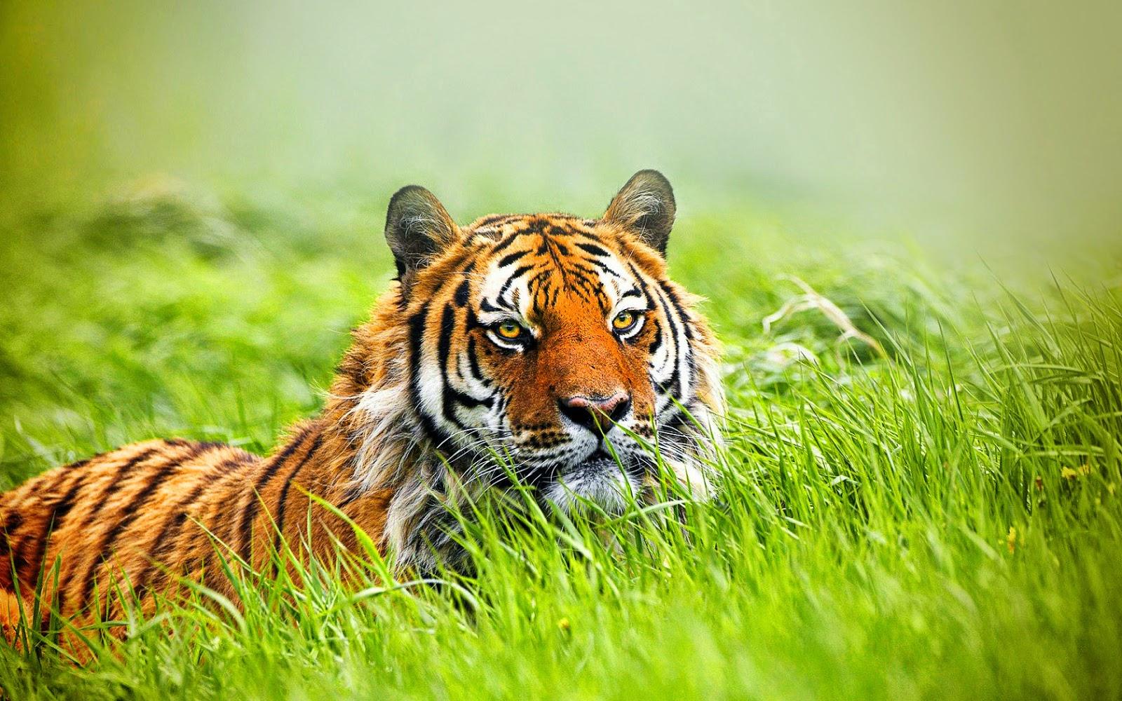 desktop wallpaper waiting tiger | desktop wallpaper