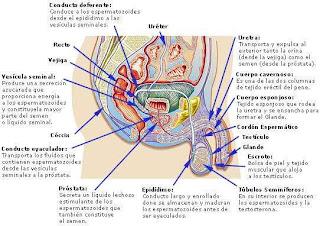 Algunos de los órganos del sistema reproductor masculino con su explicación
