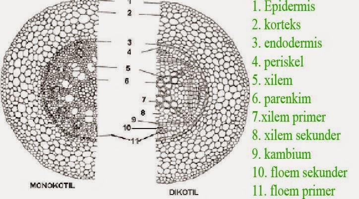 Struktur dan Fungsi Jaringan Akar