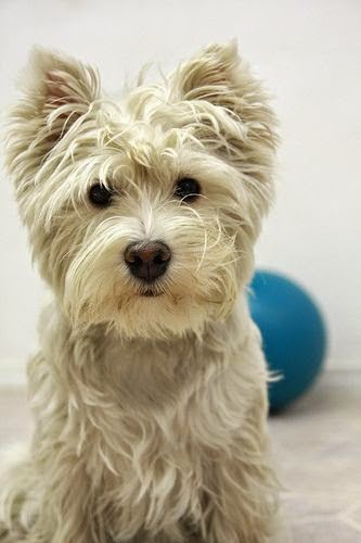See more Westies http://cutepuppyanddog.blogspot.com/