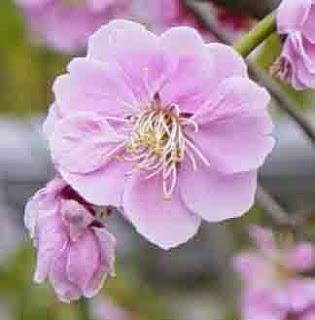 ... bunga sakura terindah gambar bunga sakura kartun gambar pemandangan