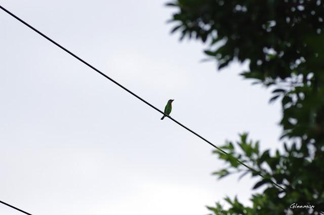 有時沿著自然步道一直走,傍晚散步到劍潭古寺,仍可見到在古寺外的電線上「叩叩叩」敲著木魚的五色鳥。