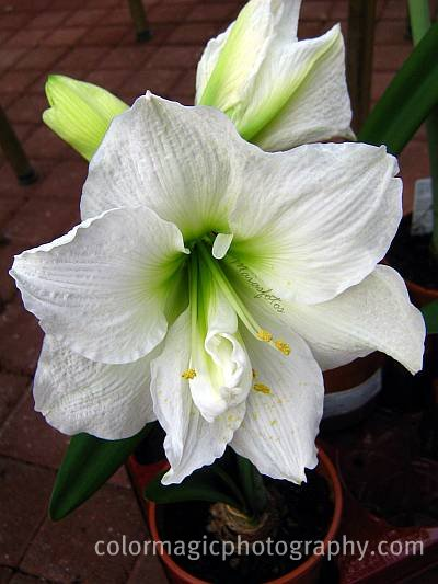 Beautiful white amaryllis flower - Hippeastrum photo