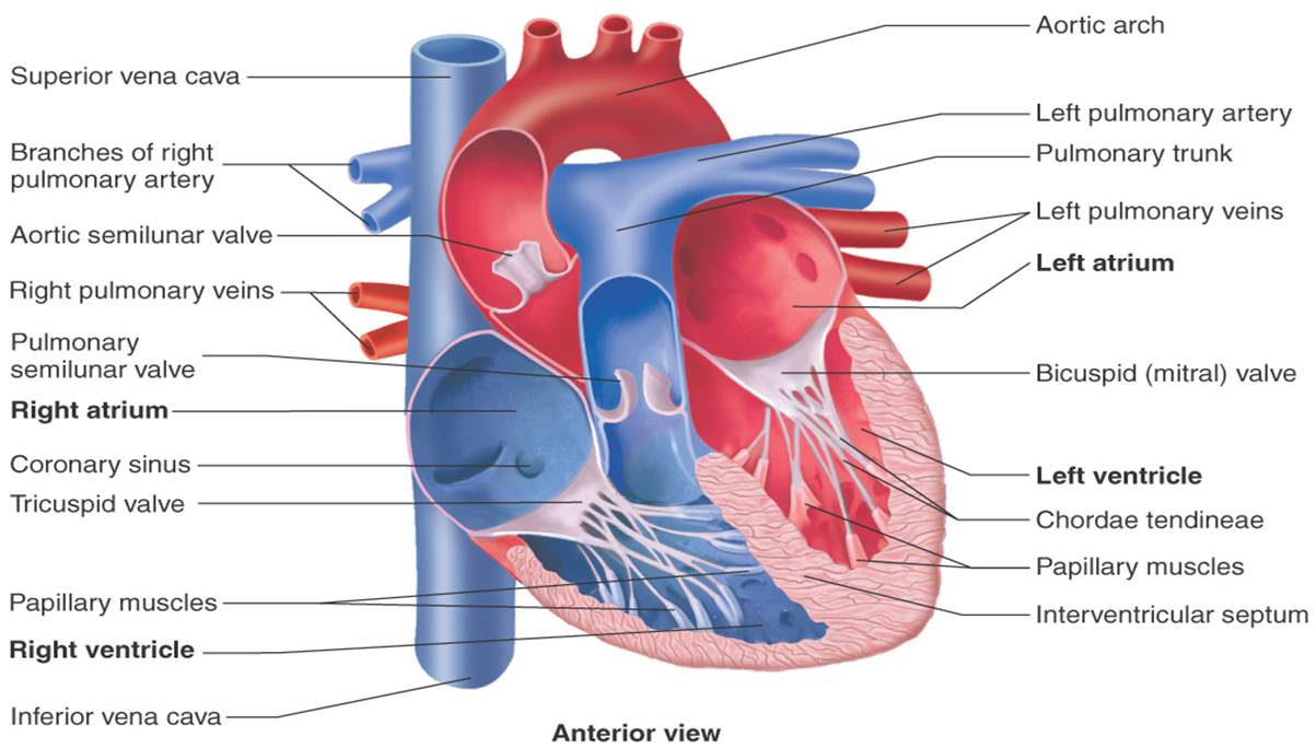 Manchester Anatomy & Physiology: Chapter 17 PowerPoint: The Heart