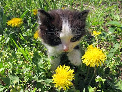 котенок с одуванчиками