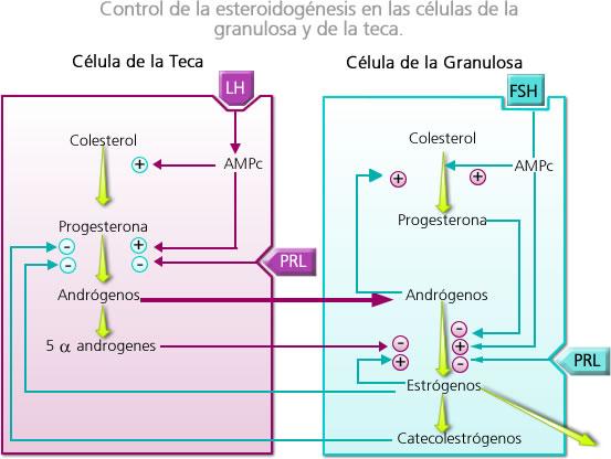 esteroidogenesis en el embarazo
