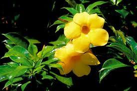 tanaman alamanda bunga alamanda