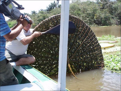 The Largest Water Lily in the World Seen On www.coolpicturegallery.us