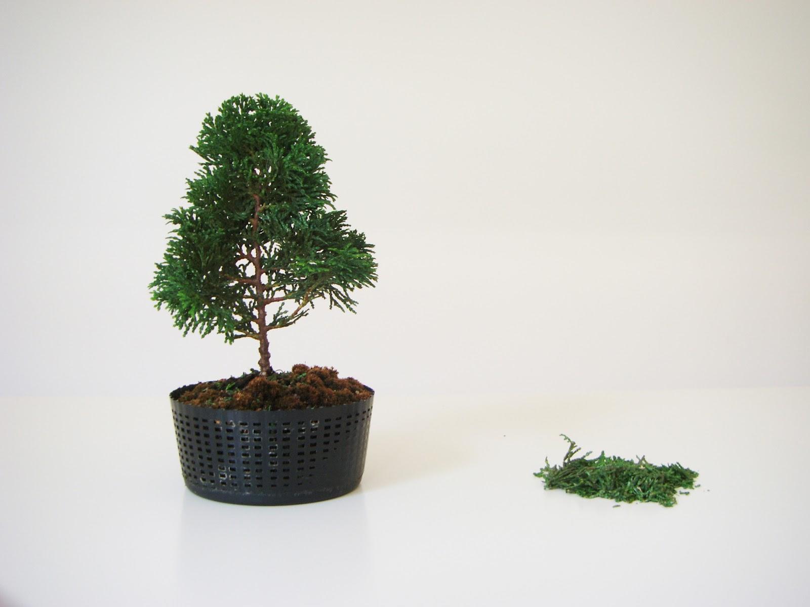 My Gardening Archive Dwarf Hinoki Cypress