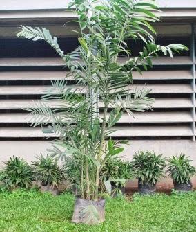 Macarthur palm, ornamental plants, Macarthur, palm