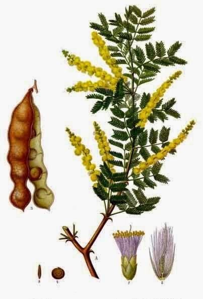 Benefits Of Acacia For Health