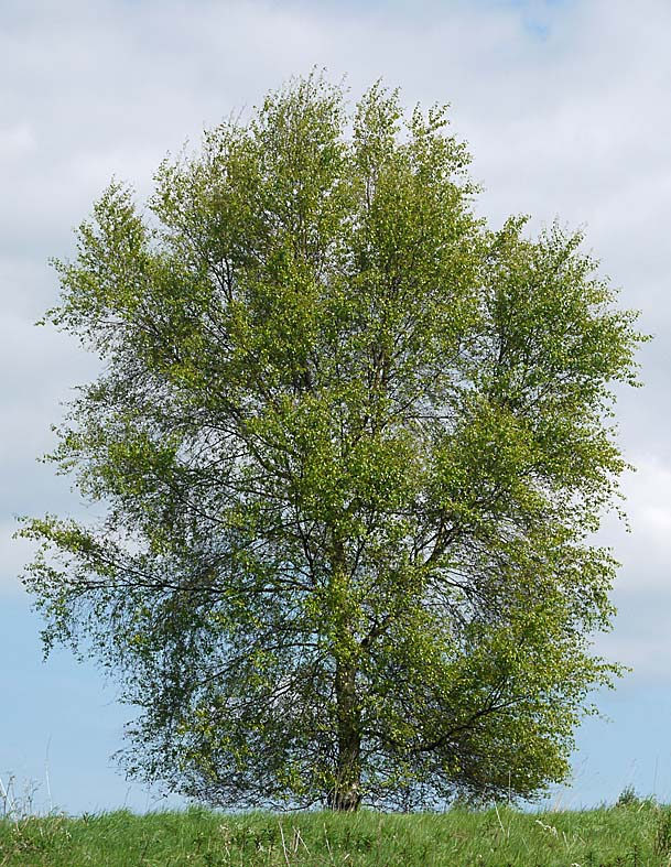 A guide to garden wildlife programme four trees and shrubs for Silver birch trees for small gardens