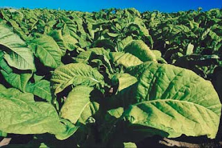 Georgia Tobacco