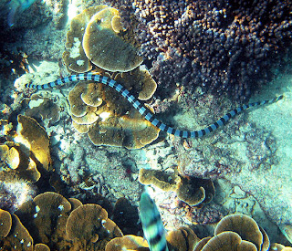 Blue-lipped sea snake krait