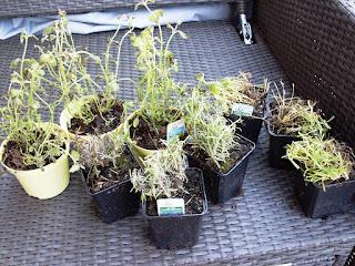 Foto Töpfchen mit kaputten Pflanzen