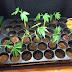 Καλλιεργούσε 39 δενδρύλλια  κάνναβης στο Ελληνικό - Δείτε τις φωτογραφίες