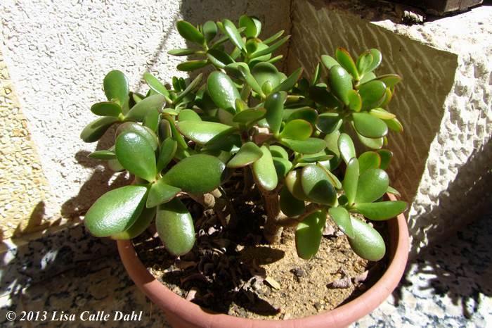 Descubriendo hojas algunas plantas crasas del jard n for Plantas de exterior nombres