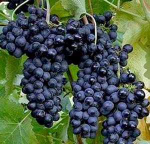 Black Grapes Fruit